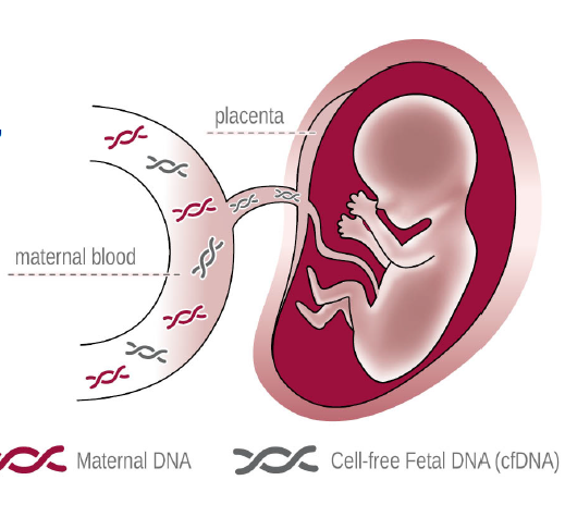cell free fetal dna